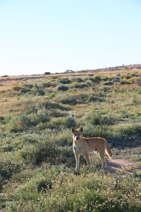 We saw very few animals in the desert. Here is one cheeky dingo.